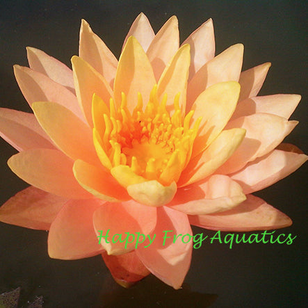 Siam Sunset | Peach Hardy Water Lily