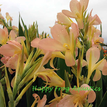 Peach Delight Canna | Aquatic Canna