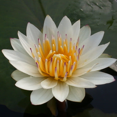 Josephine | White Tropical Waterlily