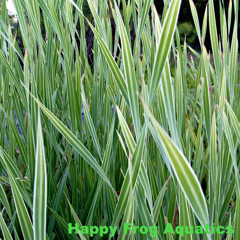 Variegated Cattails | Typha latifolia variegata