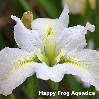 Acadian Miss | White Louisiana Iris