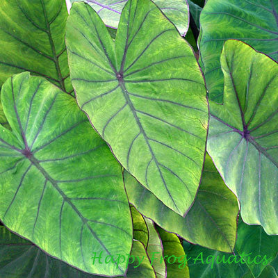 Blue Hawaii Taro |  Colocasia esculenta 'Blue Hawaii'