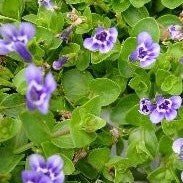 Blue Moneywort | Lindernia grandiflora | Available Spring 2021