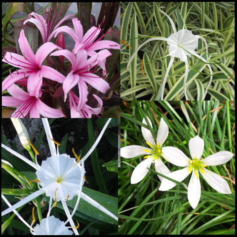 Pink & White Bog Lily Collection