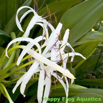 Bog Lily | Crinum americanum | Available Spring 2021