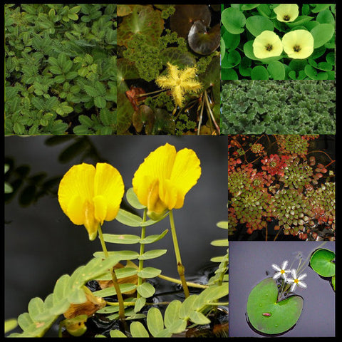 Lily-Like Flowering Plants and Floating Plant Collection | Large