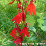 Cardinal Flower | Lobelia cardinalis | Available Spring 2021