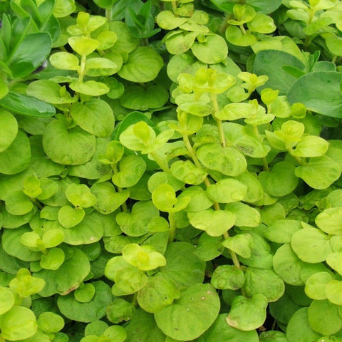 Creeping Jenny | Lysimachia nummularia | Available Spring 2021