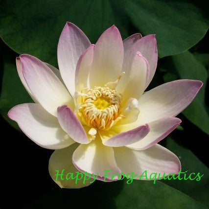 Evening Showers Lotus | Nelumbo nucifera