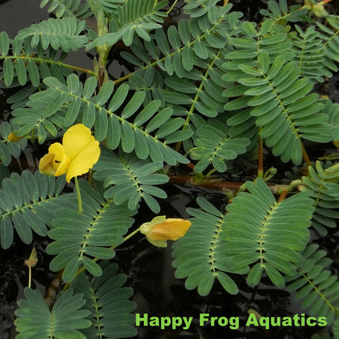 Large Leafed Sensitive Plant | Aeschynomene fluitans