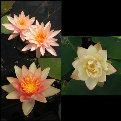 Pond Lotus & Peach Hardy Water Lilies
