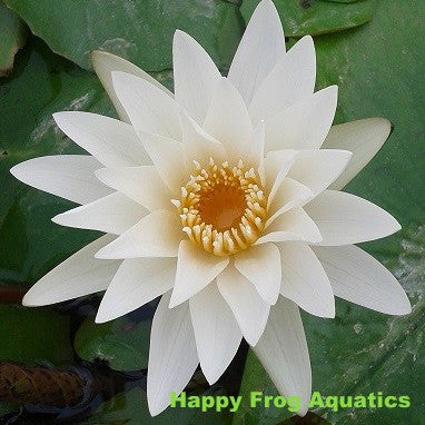 Innocence | White Tropical Water Lily