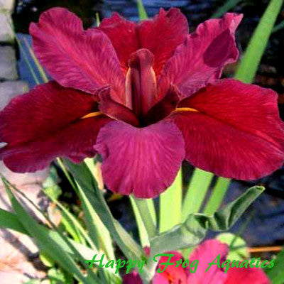 Iris 'Red Velvet Elvis' Louisiana Iris