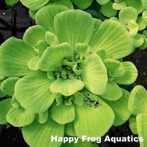 Water Lettuce | Pistia stratioes