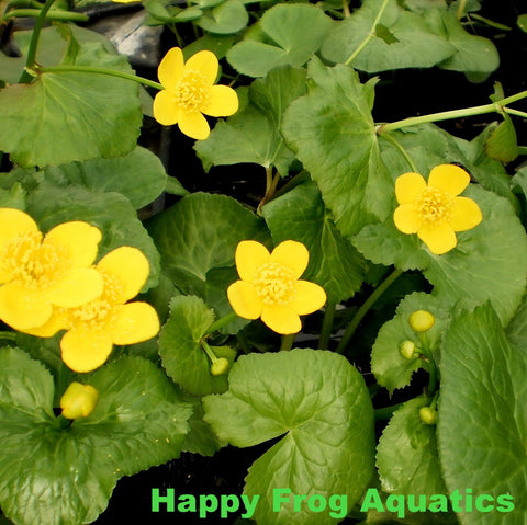 Marsh Marigold | Caltha palustris | Available Spring 2021