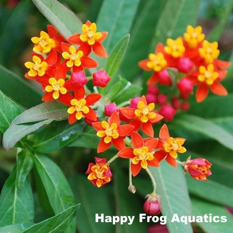 Mexican Butterfly Flower | Asclepias curassavica