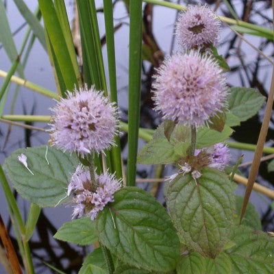 Aquatic Mint | Mentha aquatica