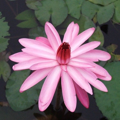Pink Night Blooming | Tropical Water Lily