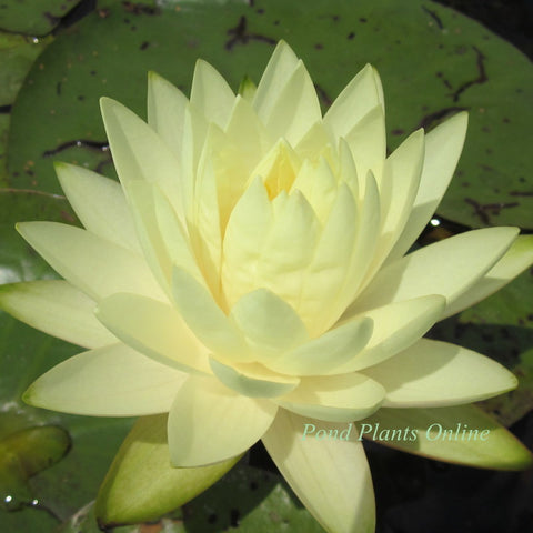 Perry's Double Yellow | Hardy Water Lily