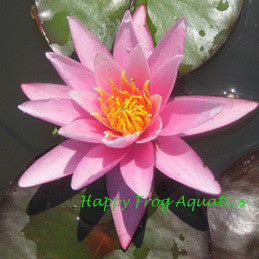 Pink Sensation | Hardy Pink Water Lily