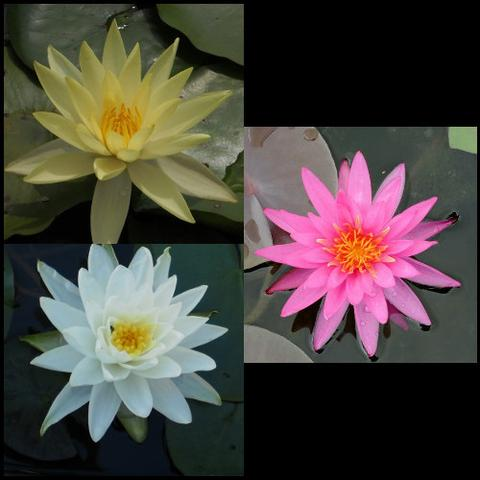 Hardy Water Lily Package | Pink, White & Yellow