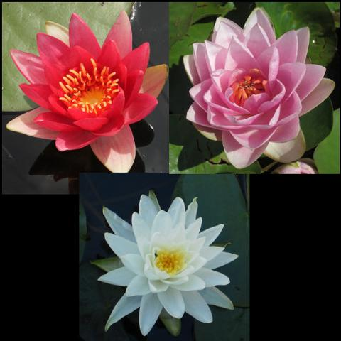 Hardy Water Lily Package | Red, Pink & White