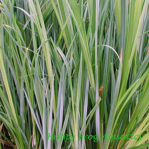 "Sedge | Carex spp. | 3.5"" Pot"