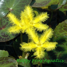 "Yellow Snowflake | Nymphoides geminata | Bare-Root | 2"" Potted 