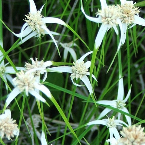 Star Grass | White Top Sedge | Star Rush