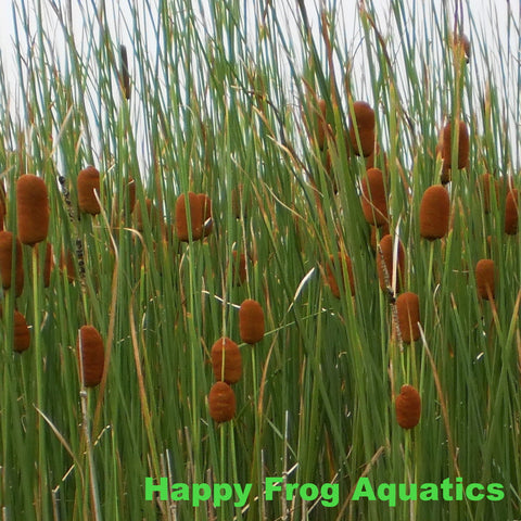 products tagged cattails reeds rushes happy frog