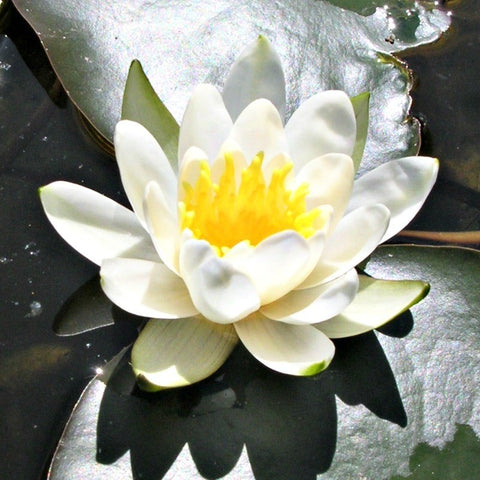 Grower's Choice | Hardy White Water Lily