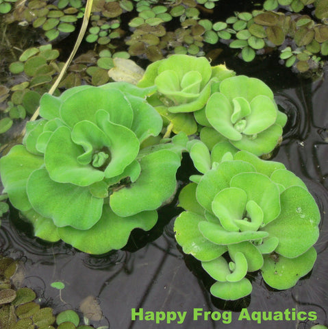 Rosette Water Lettuce | Available Spring 2021 April