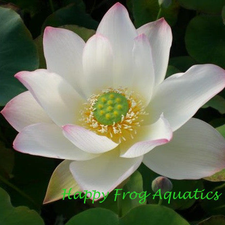 Welcoming Red Lotus | Hong Furong |Nelumbo nucifera