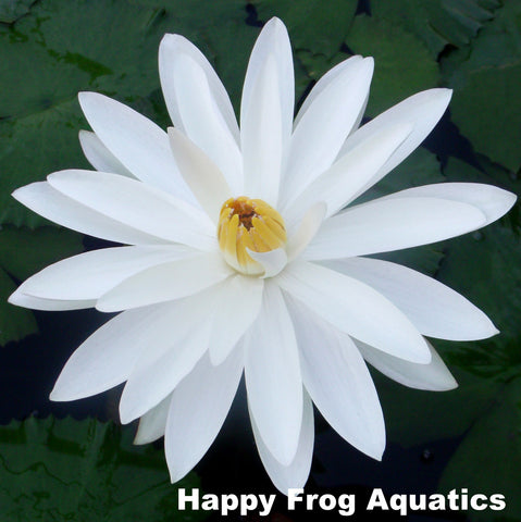 Woods White Knight Night Blooming Water Lily