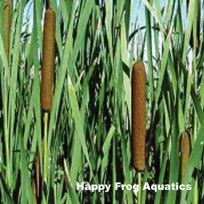 Common Cattail | Typha latifolia