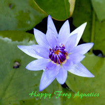 Colorata Blue Water Lily