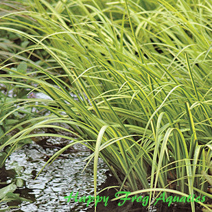Japanese Golden Sweetflag | Acorus gramineus 'Ogon' | Available Spring 2021