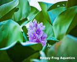 Water Hyacinth | Eichornia crassipes