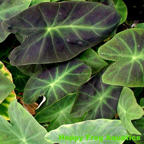 Imperial Taro | Colocasia antiquorum
