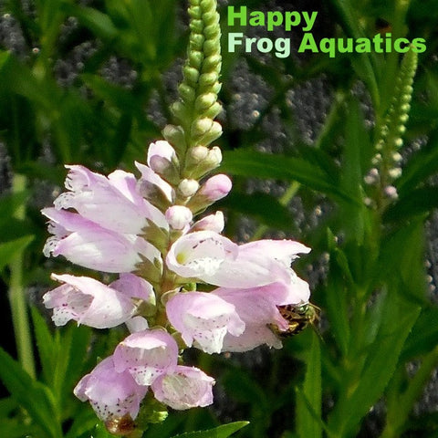 Obedient Plant | Physostegia virginiana