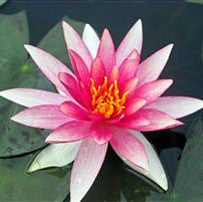 Pink Sparkle Water Lily