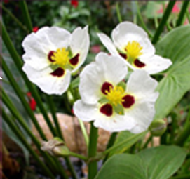 "Ruby Eye Arrowhead | Sagittaria Montevidensis | 3.5"" Pot"