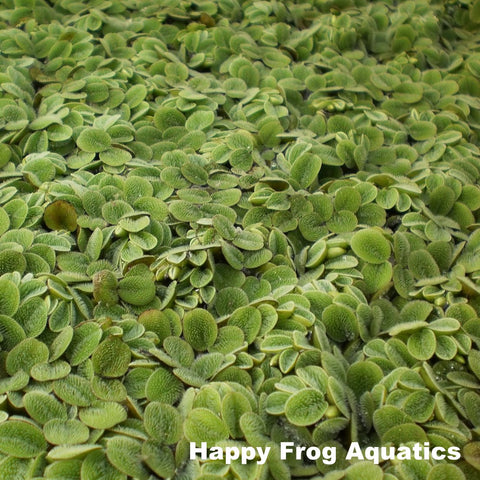 Salvinia | Salvinia minima | Small Portion 1/4 LB.
