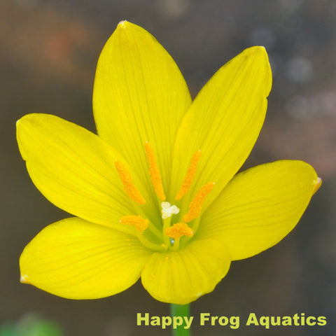 Yellow Rain Lily | Zephyranthes sp. Sulphurea