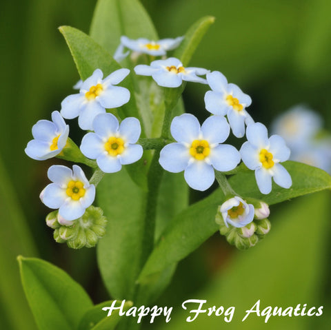 Aquatic Forget-Me-Not | Myosotis scorpioides | Available Spring 2021