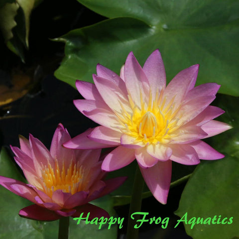 Tropic Sunset Water Lily | Ships Spring 2019
