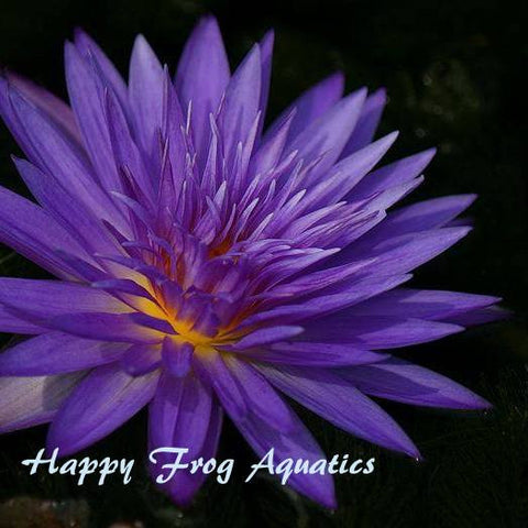Ultra Violet Water Lily