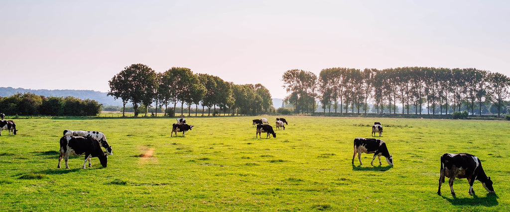 How Cow Glandulars Boost Energy Levels