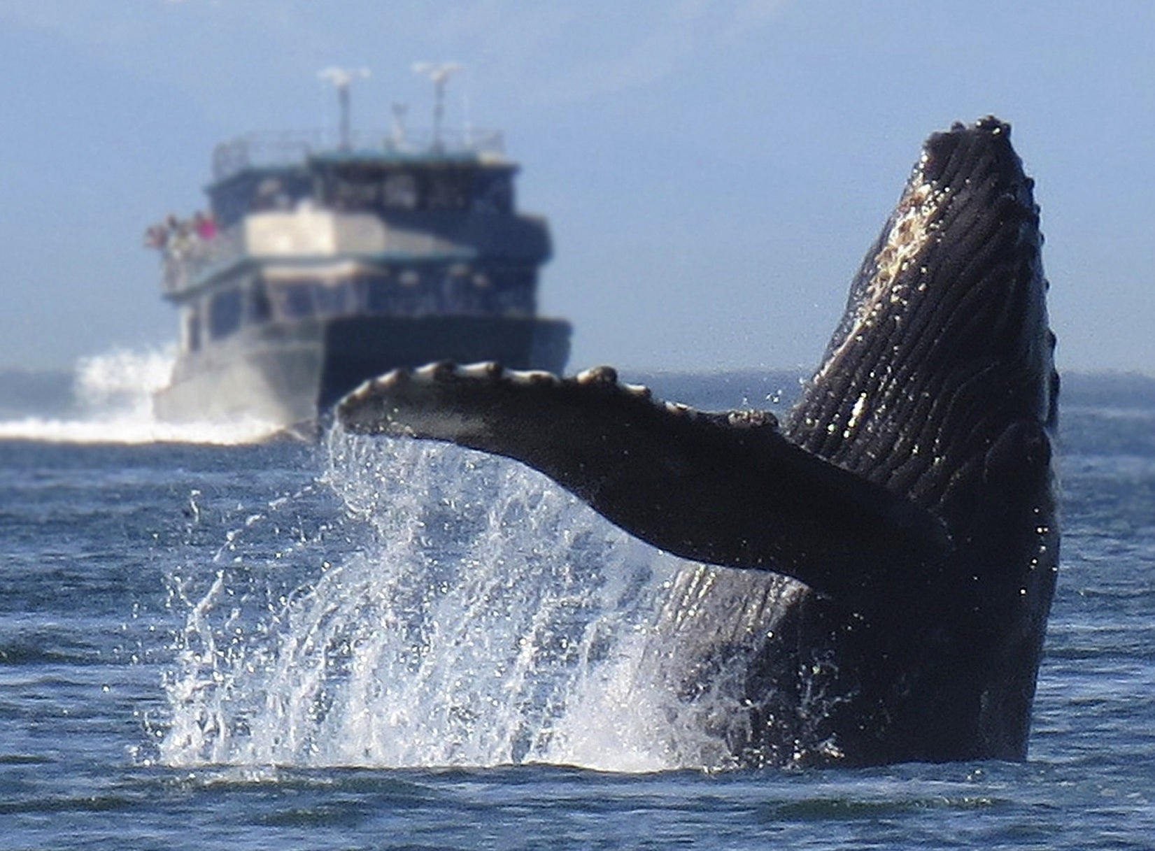 Humpback Whale Image by Alan Bedding from Pixabay