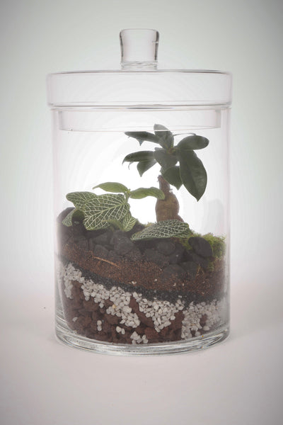 Meadow Low Ficus - Terrarium humide Green Factory